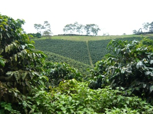 Coffee Fields